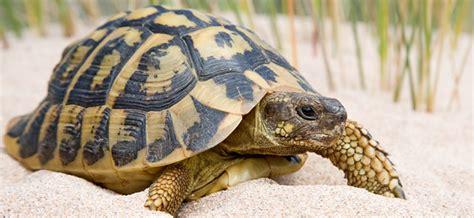 imagenes de tortugas raras 191 ten 233 s una tortuga como mascota taringa