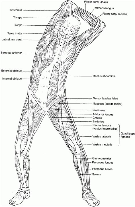 anatomy coloring book muscles free the muscular system coloring pages coloring home