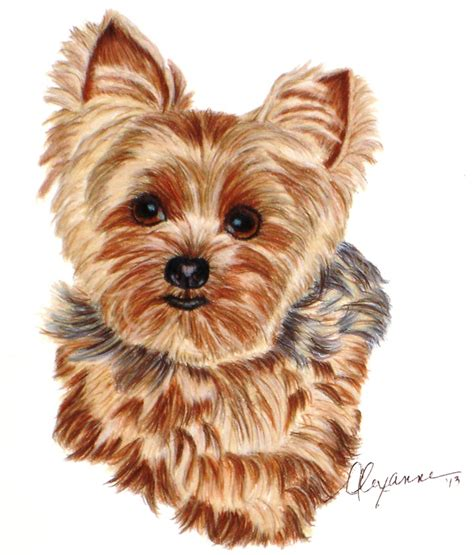 drawings of yorkies commissioned drawing of a yorkie on stonehenge paper 8 quot x 8 quot this was a practice