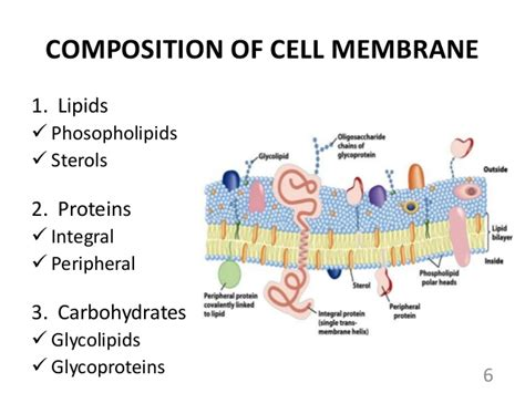 5 proteins in the cell membrane cell membrane and transport