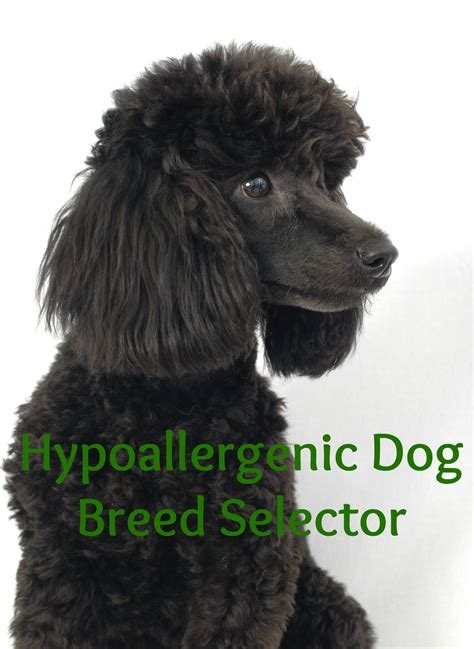find my breed hypoallergenic breed selector vills
