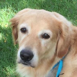 golden retriever adoption il rescue a golden retriever illinois photo
