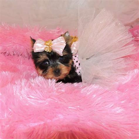 teacup yorkie breeders in teacup yorkie puppy for sale layla teacup yorkies sale