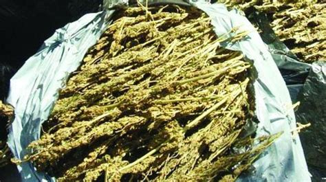 S3 Goldvit Per 10 Sachet visakhapatnam central prison filled with 35 per cent ganja smugglers