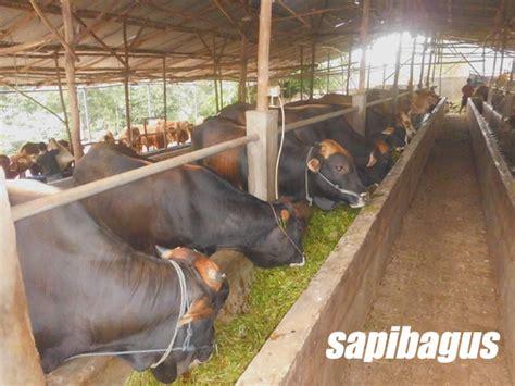 Bibit Sapi Potong Lokal potensi peternakan sapi di payakumbuh sumatera barat