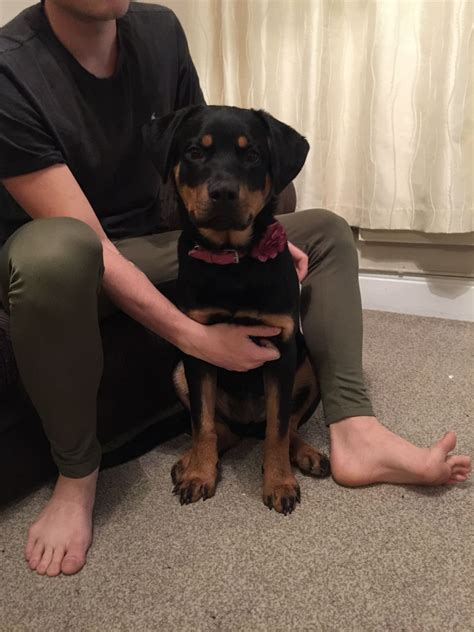 rehoming rottweilers 6 month rottweiler for rehoming chelmsford essex pets4homes