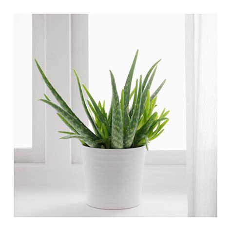 aloe in vaso aloe vera pianta da vaso aloe aloe and plants