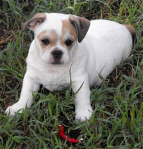 shih tzu x bulldog find out about the bulldog shih tzu mix dogable