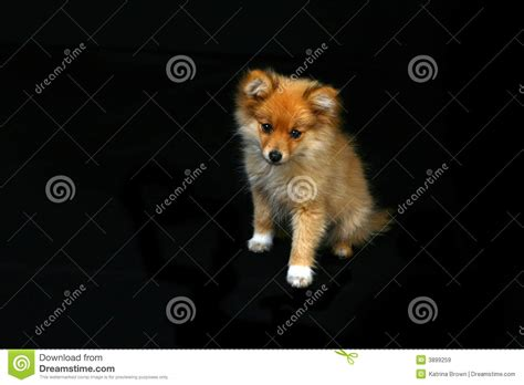 sad pomeranian pomeranian puppy looking sad royalty free stock images image 3899259
