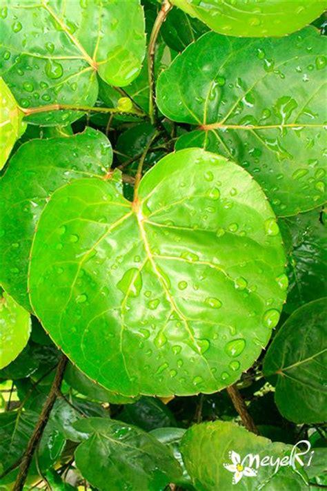 polyscias scutellaria daun mangkokan tumbuhan hias