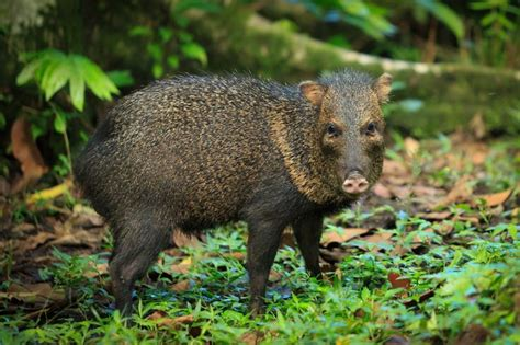 ecology conservation and management of pigs and peccaries books a saino or peccary pig walking along playa cativo s 1000