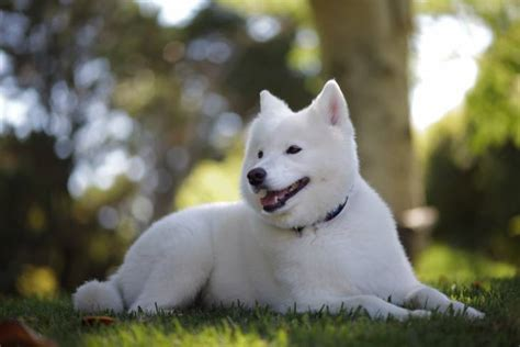 how much are samoyed puppies the price of a pooch how much does a samoyed cost herepup