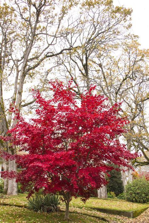 25 best ideas about acer palmatum bloodgood on pinterest acer palmatum acer atropurpureum
