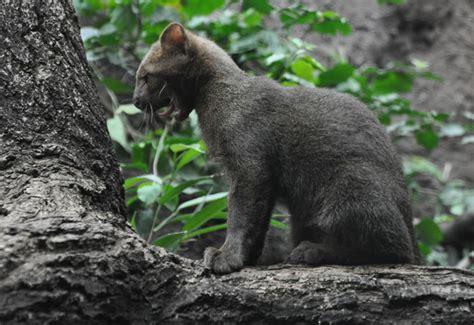 imagenes jaguarundi enciclopedia animal animales de la selva jaguarundi