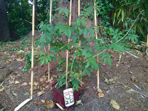 Rosa Kiftsgate Ready To Plant Sunil S Garden Garden Ready Vegetable Plants