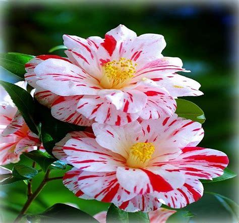 imagenes de flores whatsapp flores hermosas para compartir en facebook las mejores