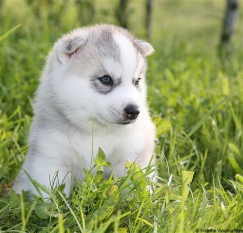 husky inu puppies for sale largest variety best quality puppies for sale 2018 puppy singapore