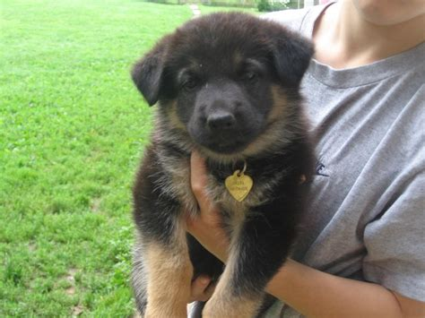 how to care for a german shepherd puppy how to care for a german shepherd breeds picture