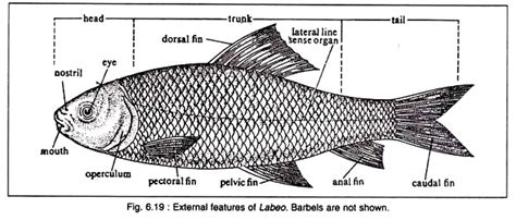 diagram of a bony fish rohu systematic position distribution and structure