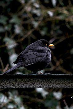 1000 images about blackbird called burtie on pinterest