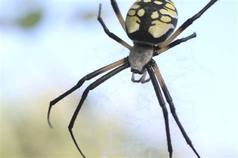 Garden Spider Black And White The World S Catalog Of Ideas