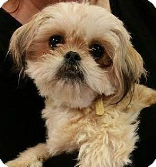 shih tzu puppies for adoption in ky ky shih tzu meet chip a for adoption