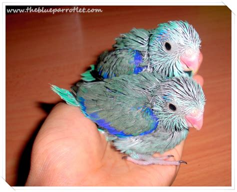 care for baby parrotlets the blue parrotlet