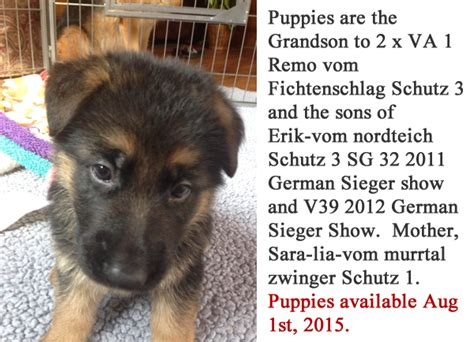 dogs for sale in illinois german shepherd litters puppies available for sale in southern wisconsin minnesota