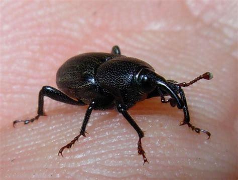 coleotteri volanti infestazione di piccoli insetti con 6 ze e piccola