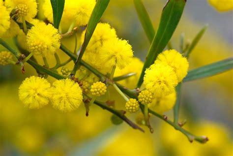 mimosa coltivazione in vaso mimosa piante da giardino come coltivare la mimosa