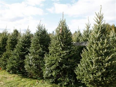 where to cut your own christmas tree in chester county
