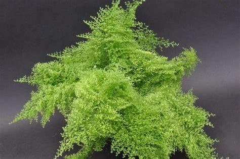 nephrolepis exaltata suzi wong cotton candy fern