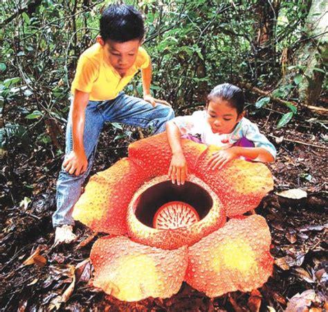 largest flower in the world rafflesia arnoldii the world s largest flower biol4095