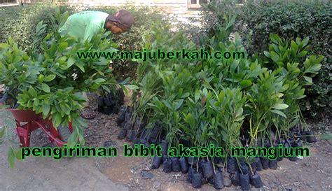 Bibit Kayu Akasia pengiriman bibit akasia manium pengiriman bibit tanaman
