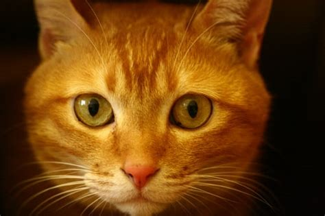 Yellow Cat feline hepatic lipidosis fatty liver disease in cats
