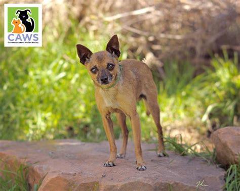 puppy adoption utah view ad chihuahua for adoption utah salt lake city