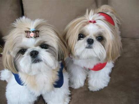 Shih Tzu Do They Shed by 17 Lovely Small Breeds For Allergic