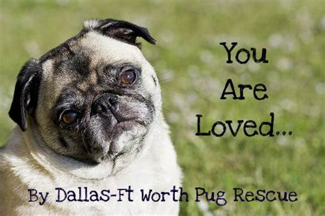 rescue dogs pugs dfw pug rescue pug and rescue