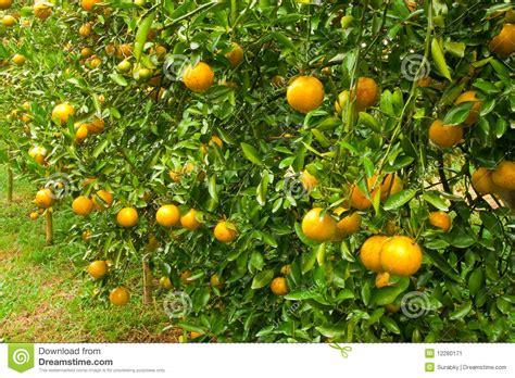 Orange Garden by Orange Garden In The Morning Of Thailand Stock