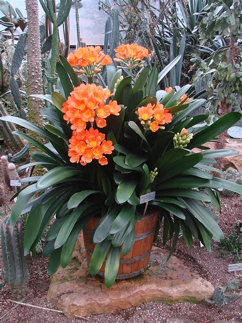 Annuals For Planters by Plants Flowers 187 Clivia Miniata