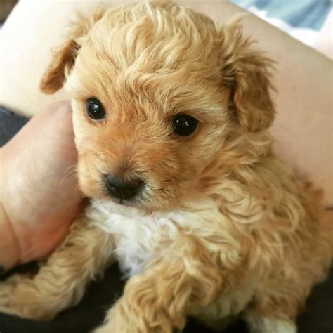 micro poodle puppy best 25 micro poodle ideas on micro teacup