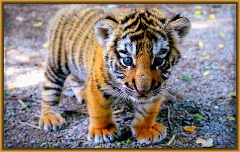 imagenes ojos de tigre tigres de fondo de pantalla para descargar fotos de tigres