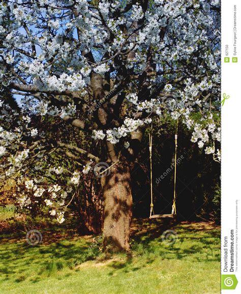 swinging cherries swing in flowering cherry tree stock photo image 627150