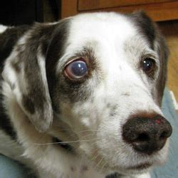 glaucoma in dogs glaucoma and your