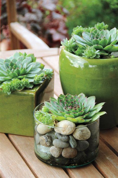 succulents pots for sale best 25 hens and chicks ideas on pinterest replanting