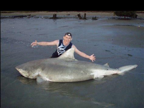 mississippi river sharks file quincy shark found in mississippi river jpg