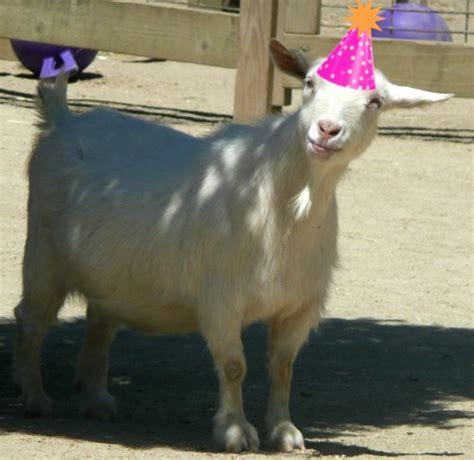 anteater happy birthday peaches nigerian dwarf goat birthday