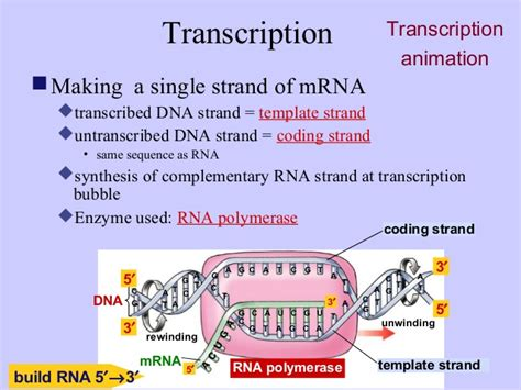 how is the template strand for a particular gene determined transcription vs translation related keywords