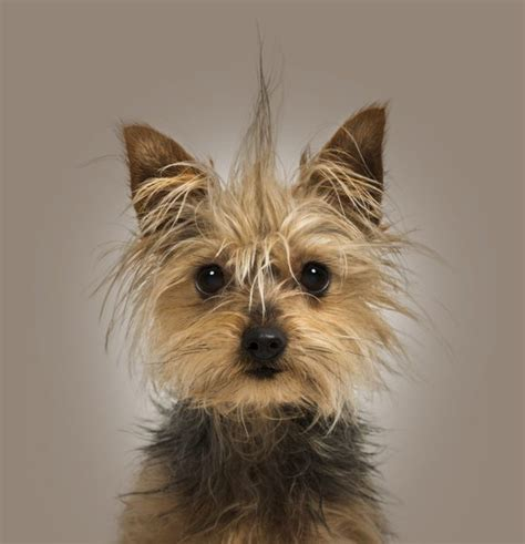 when is a yorkie puppy grown when is a yorkie puppy grown care the daily puppy