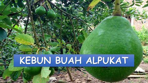 Bibit Alpukat Medan kebun buah alpukat